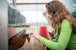 Kathryn Stephens, an agriculture major at Tennessee Tech, works with a chicken on the university's Shipley Farm. The university has been awarded more than $2 million to build a new facility that will expand opportunities for students interested in poultry sciences.