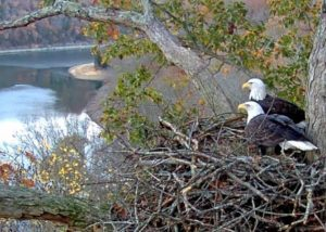 Two American Bald Eagles look over Dale Hollow Lake from their shoreline nest.